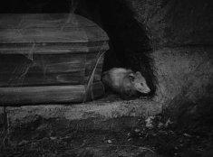Dracula rodent